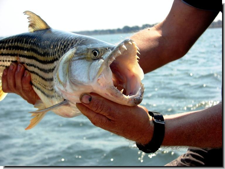Tiger fish facts pokemon go search for tips tricks for Interesting facts about fish