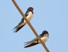 Red chested swallow